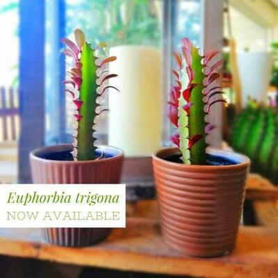 Euphorbia trigona (Plant) - Nature by Marc Beyrouthy