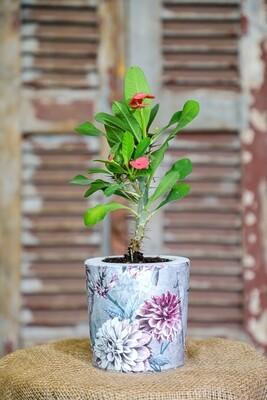Concrete and Euphorbia milii Love (Piece) - Coup de Glue