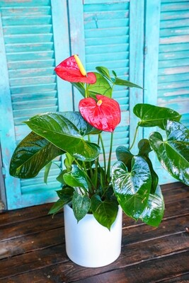 Anthurium Red (Plant) - Nature by Marc Beyrouthy