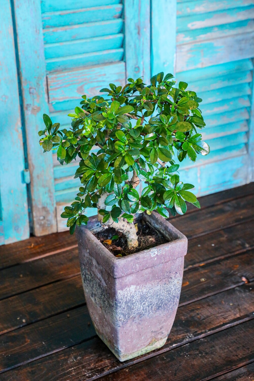 Bonsai Carmona (Plant) - Nature by Marc Beyrouthy