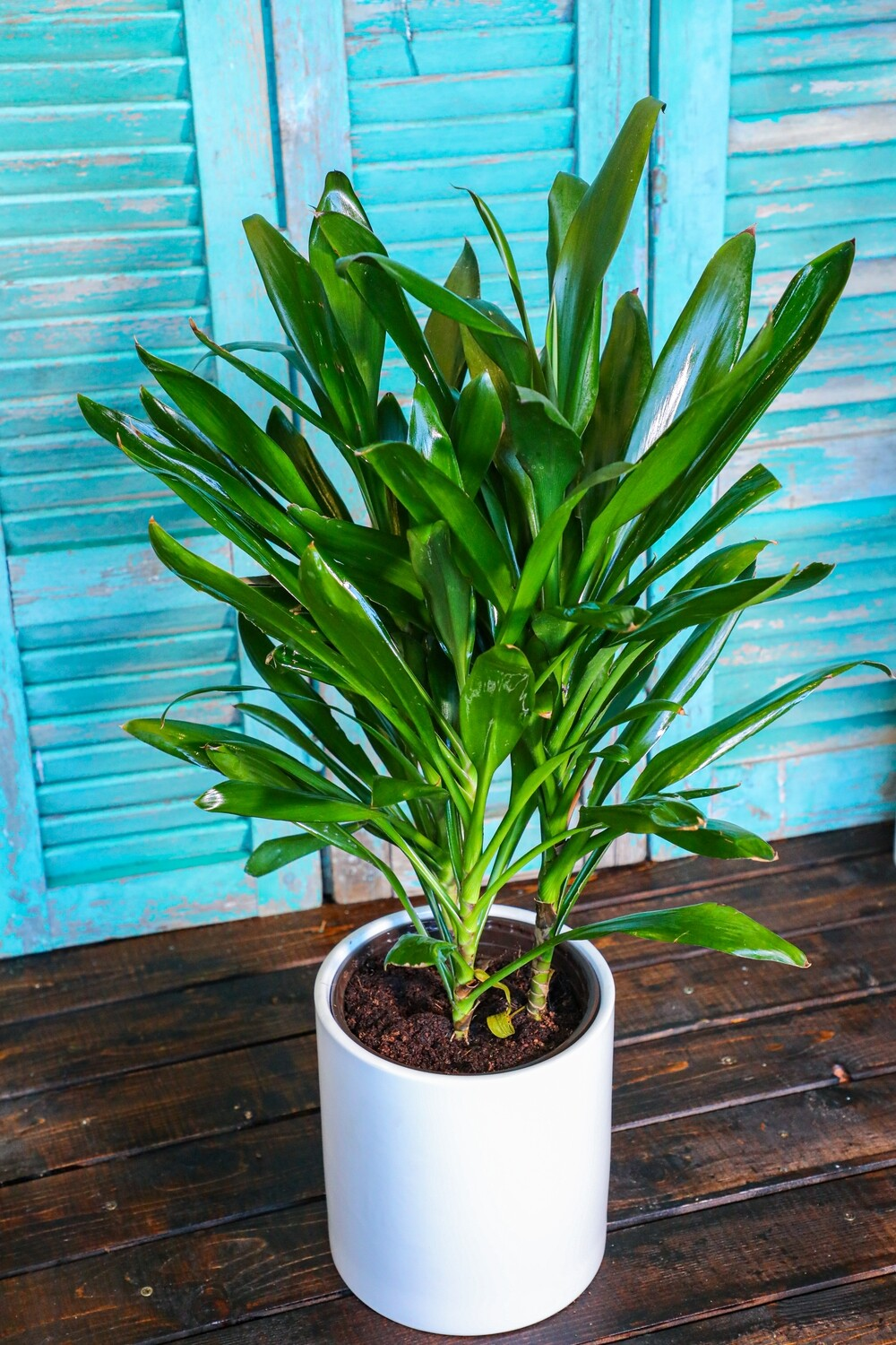 Cordyline fruticosa glauca (Plant) - Nature by Marc Beyrouthy