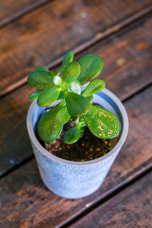 Crassula ovata (Plant) - Nature by Marc Beyrouthy