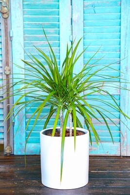 Dracaena marginata (Plant) - Nature by Marc Beyrouthy