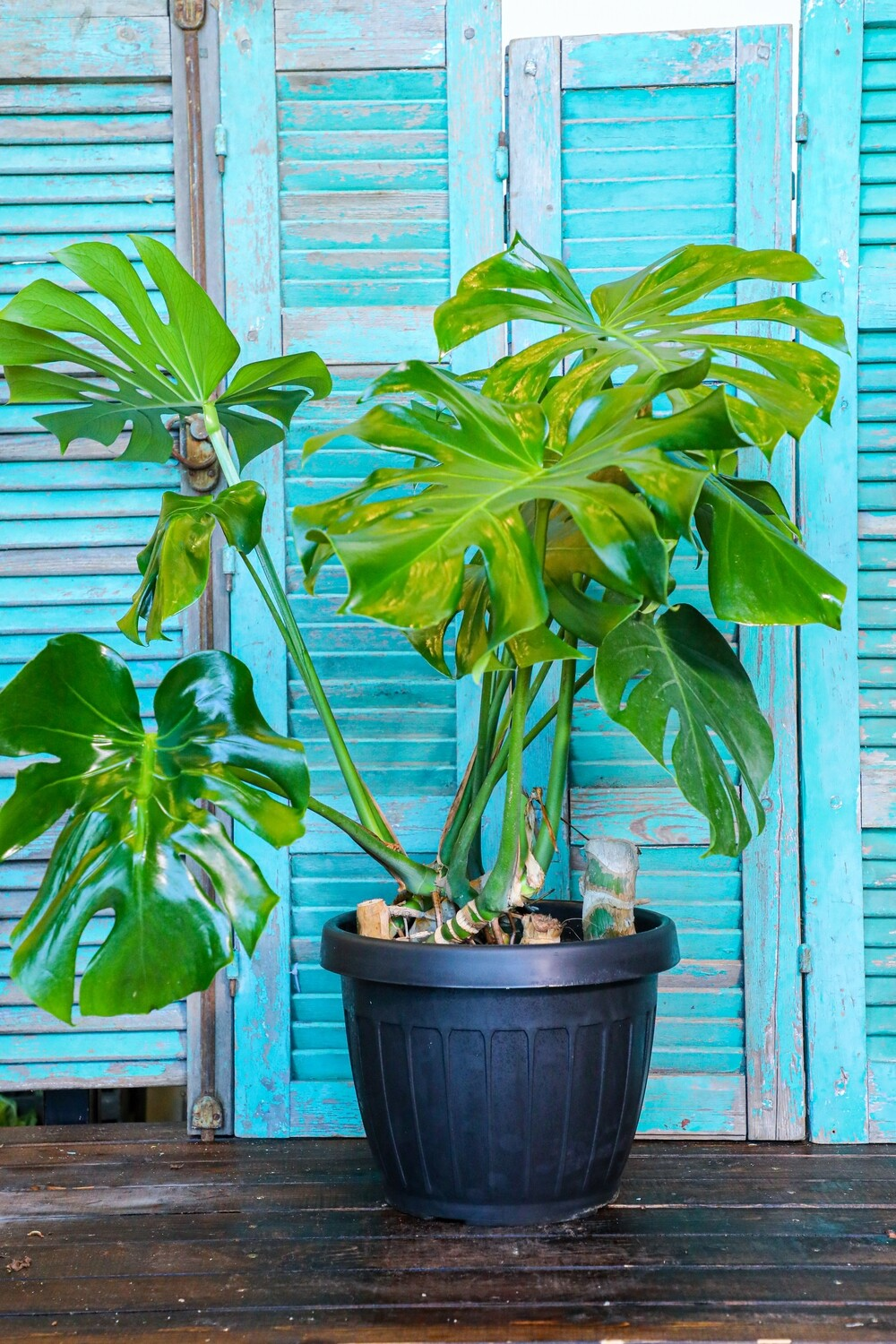 Monstera deliciosa (Plant) - Nature by Marc Beyrouthy