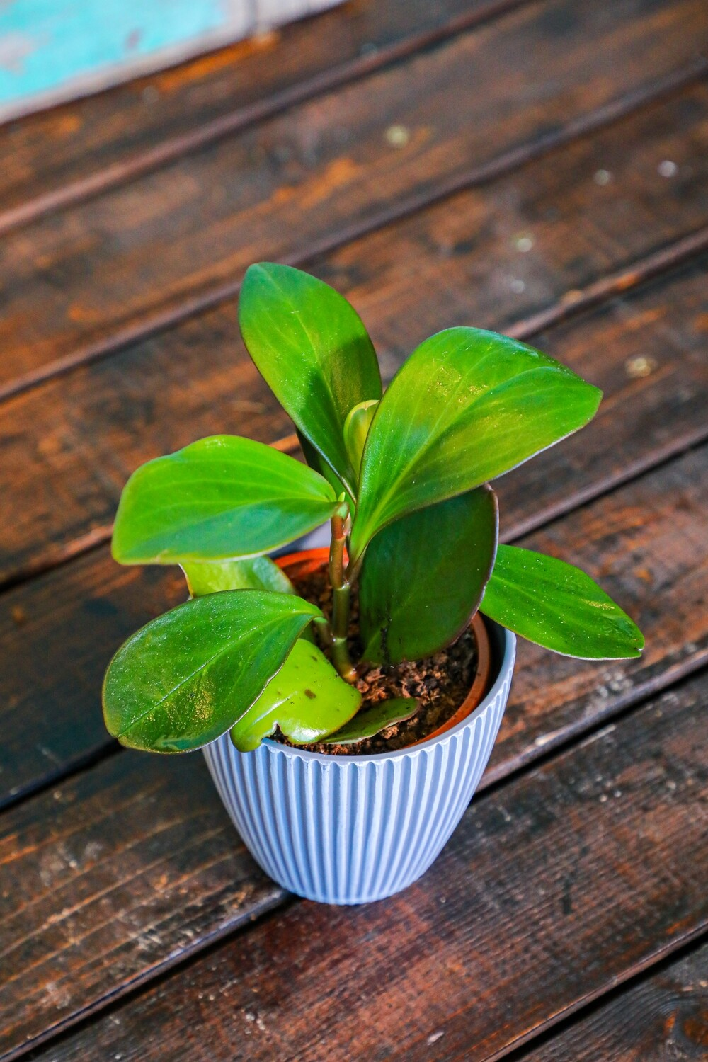 Peperomia (Plant) - Nature by Marc Beyrouthy