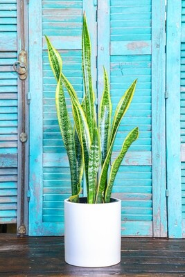 Sansevieria trifasciata (Plant) - Nature by Marc Beyrouthy