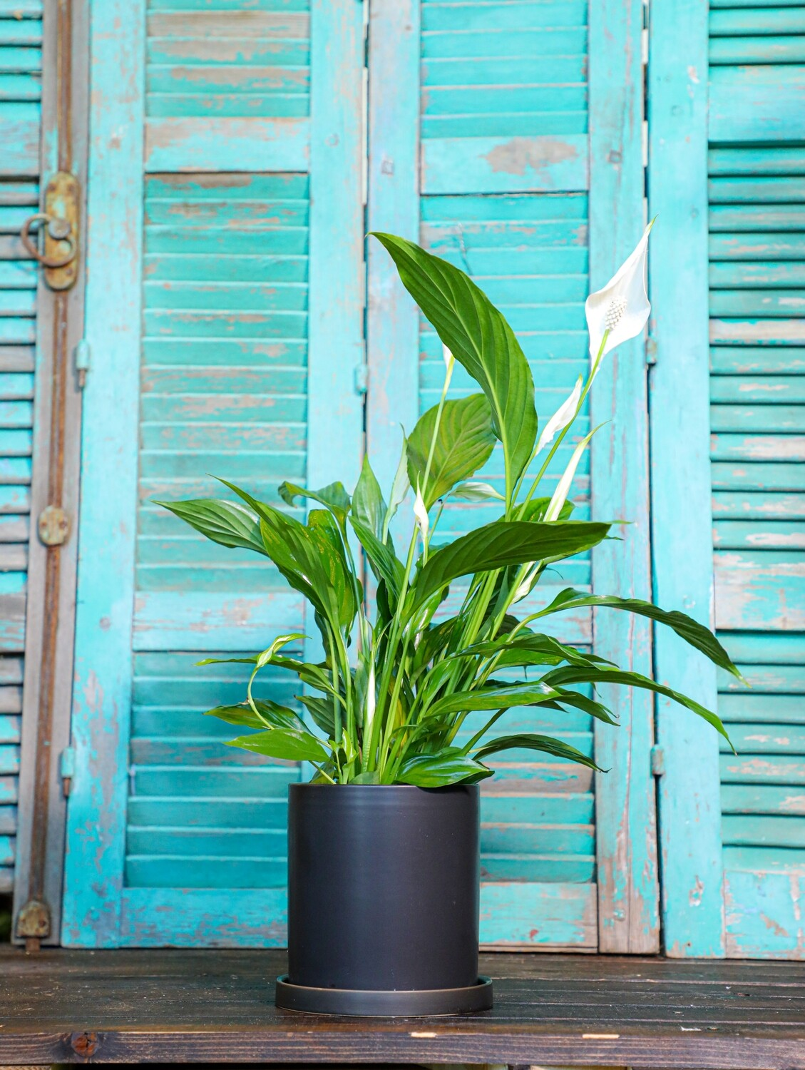 Spathiphyllum wallisii (Plant) - Nature by Marc Beyrouthy