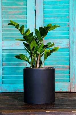 Zamioculcas zamiifolia (Plant) - Nature by Marc Beyrouthy