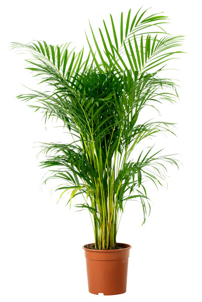 Areca palm (Plant) - Nature by Marc Beyrouthy