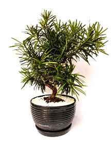 Bonsai Podocarpus Ceramic (Plant) - Nature by Marc Beyrouthy