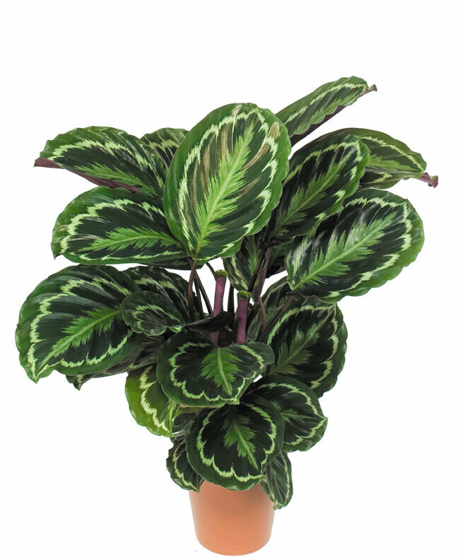 Calathea zebrina (Plant) - Nature by Marc Beyrouthy