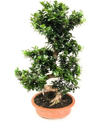 Bonsai ficus S Shape (Plant) - Nature by Marc Beyrouthy