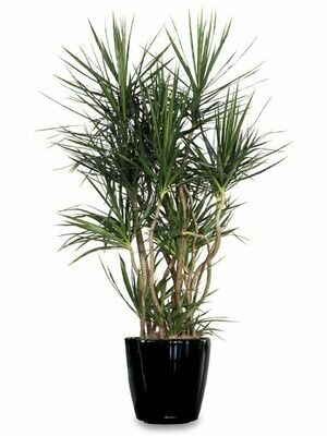 Dracaena marginata Specimen (Plant) - Nature by Marc Beyrouthy
