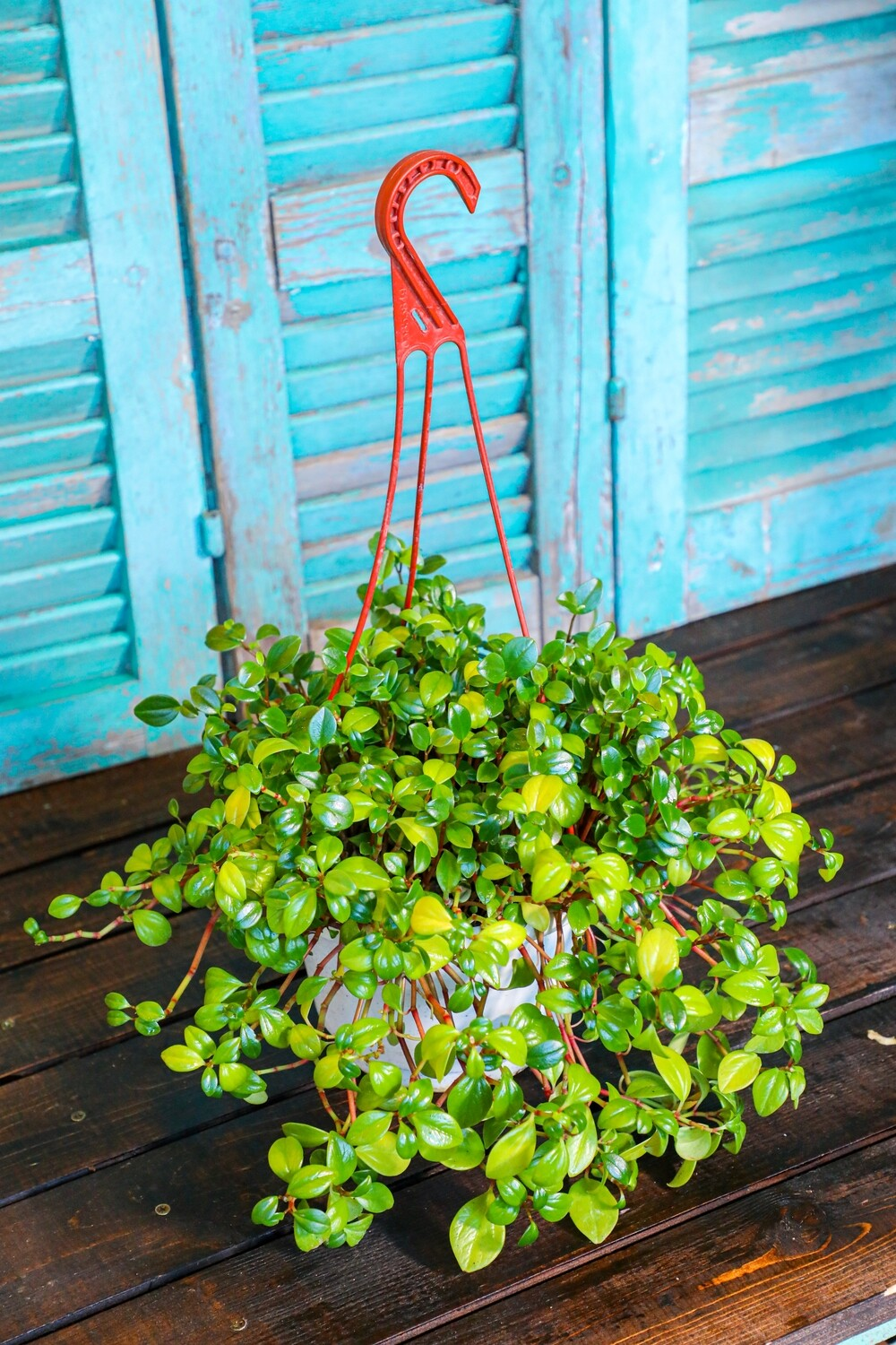 Peperomia Hang (Plant) - Nature by Marc Beyrouthy