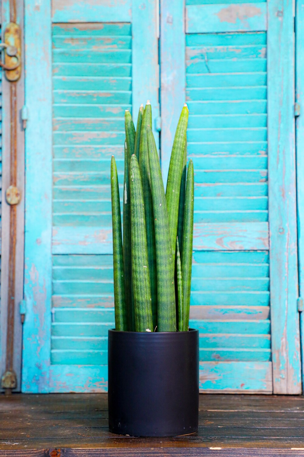 Sansevieria cylindrica (Plant) - Nature by Marc Beyrouthy