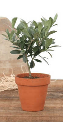 Olea europaea Mini (Plant) - Nature by Marc Beyrouthy