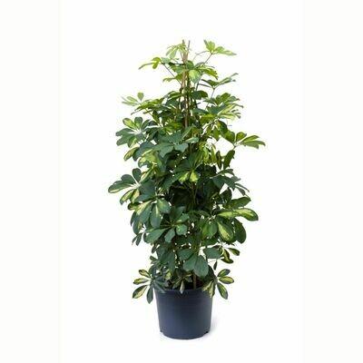 Schefflera arboricola (Plant) - Nature by Marc Beyrouthy