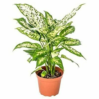 Aglaonema white (Plant) - Nature by Marc Beyrouthy