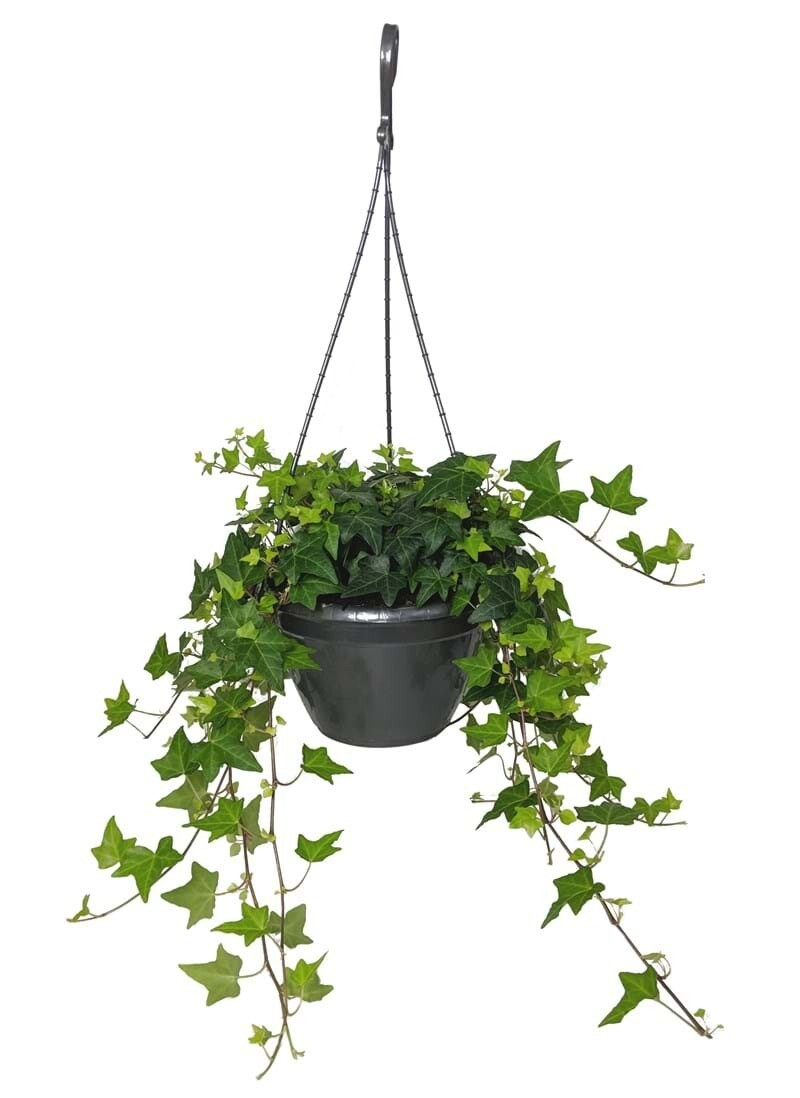 Hedera helix Hang (Plant) - Nature by Marc Beyrouthy