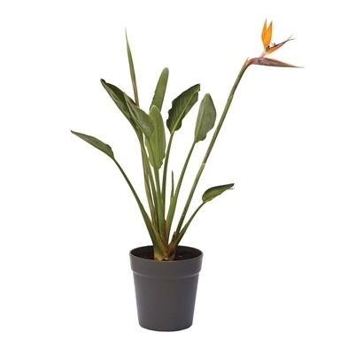 Strelitzia reginae (Plant) - Nature by Marc Beyrouthy