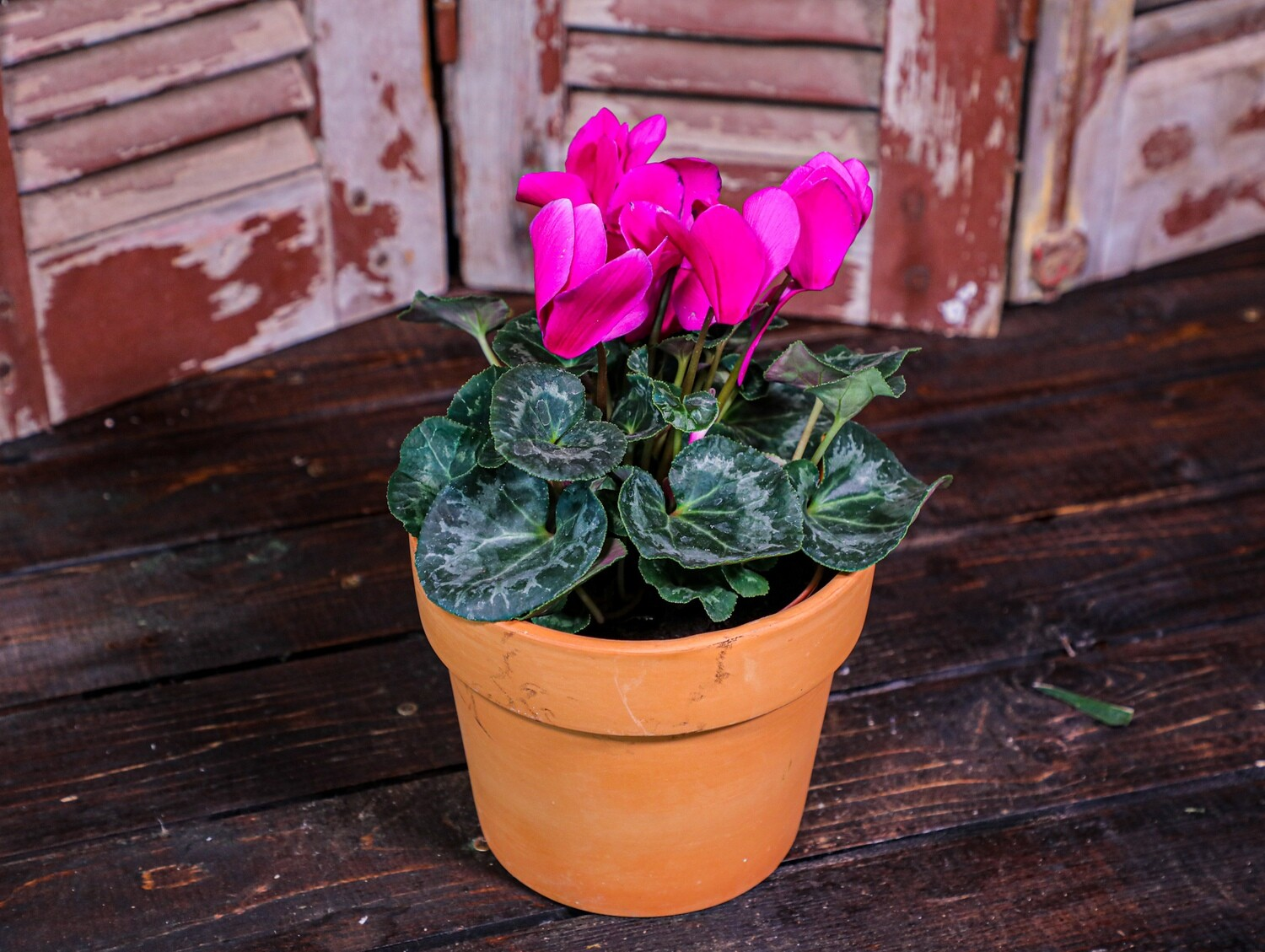 Cyclamen (Plant) - Nature by Marc Beyrouthy