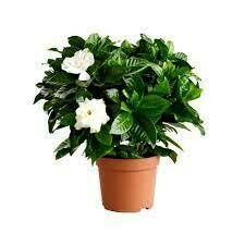Gardenia Indoor (Plant) - Nature by Marc Beyrouthy