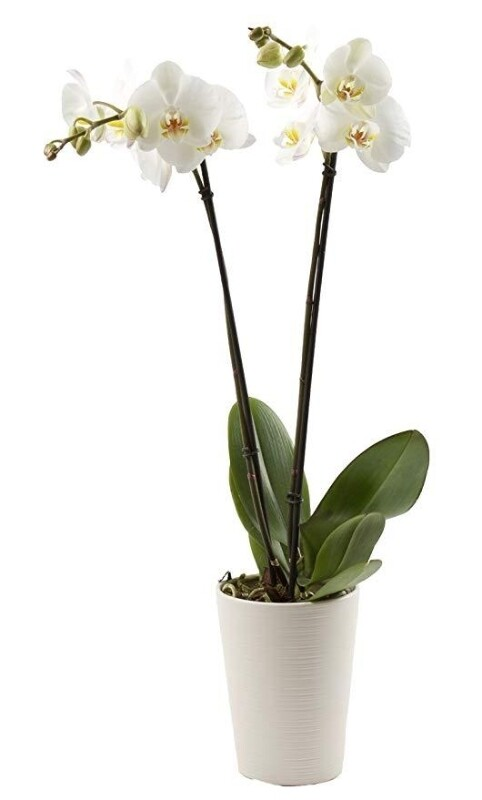 Phalaenopsis orchid Single (Plant) - Nature by Marc Beyrouthy
