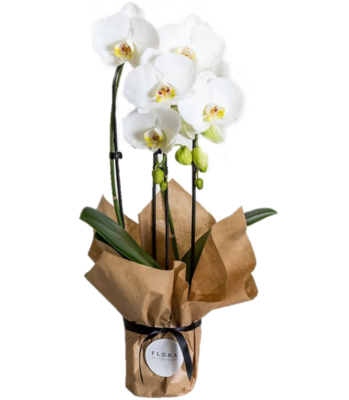 Phalaenopsis orchid Wrapped (Plant) - Nature by Marc Beyrouthy