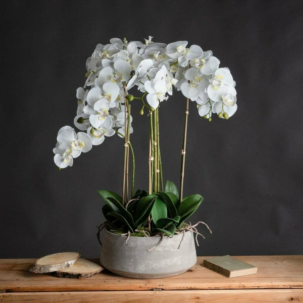 Phalaenopsis orchid Triple (Plant) - Nature by Marc Beyrouthy