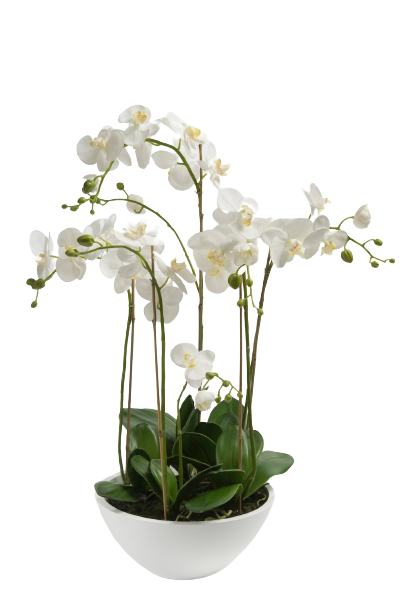 Phalaenopsis orchid Double (Plant) - Nature by Marc Beyrouthy