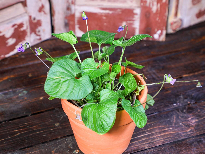 Viola odorata بنفسج (Plant) - Nature by Marc Beyrouthy