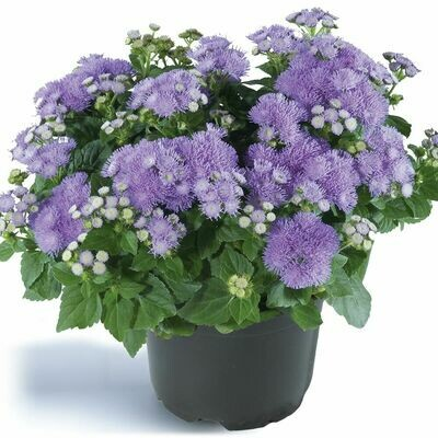 Ageratum (Plant) - Nature by Marc Beyrouthy