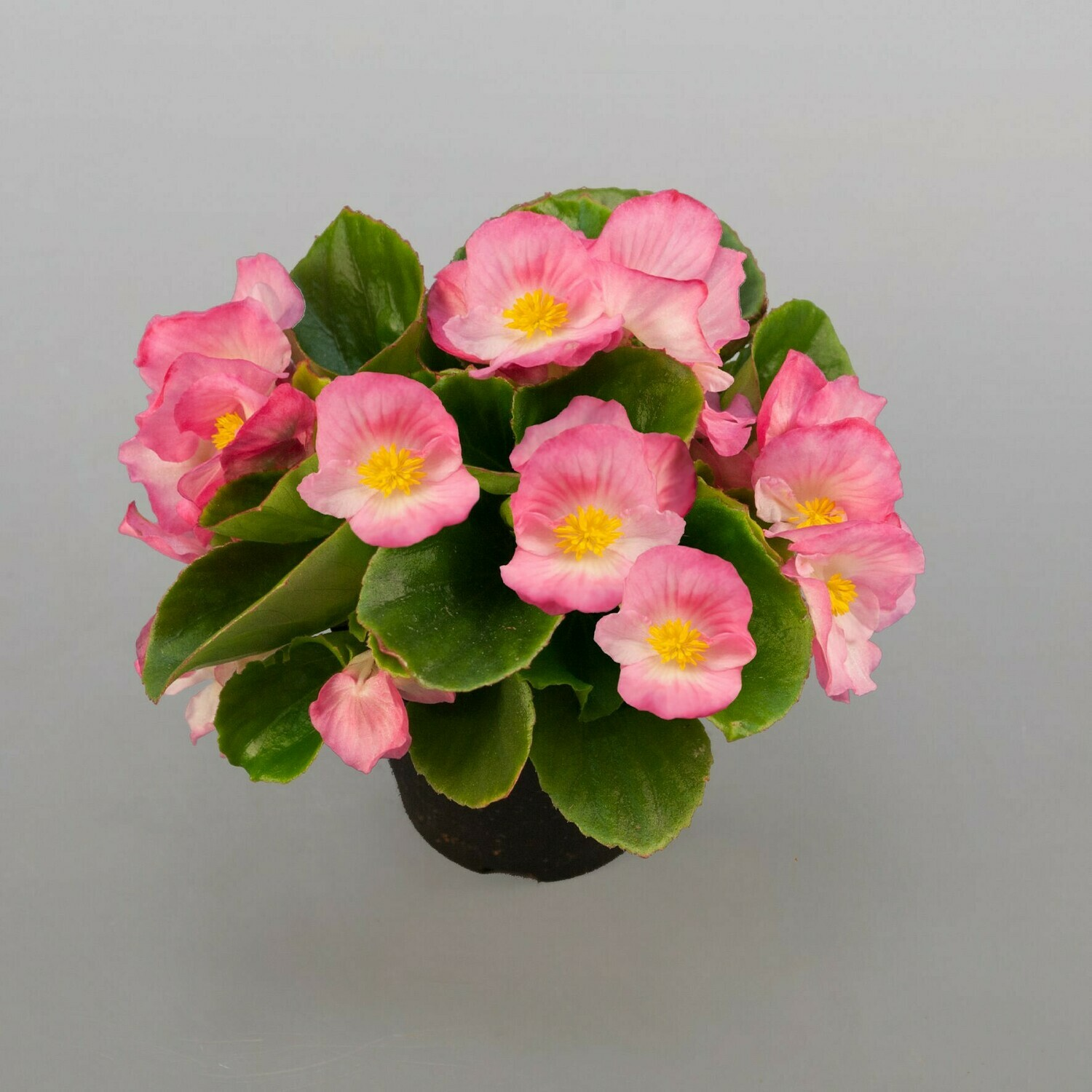 Begonia (Plant) - Nature by Marc Beyrouthy
