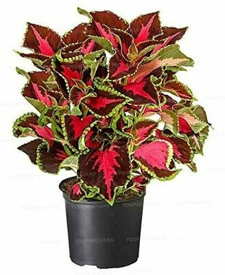 Coleus (Plant) - Nature by Marc Beyrouthy