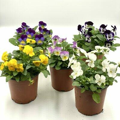 Pensée (Viola tricolor) (Plant) - Nature by Marc Beyrouthy