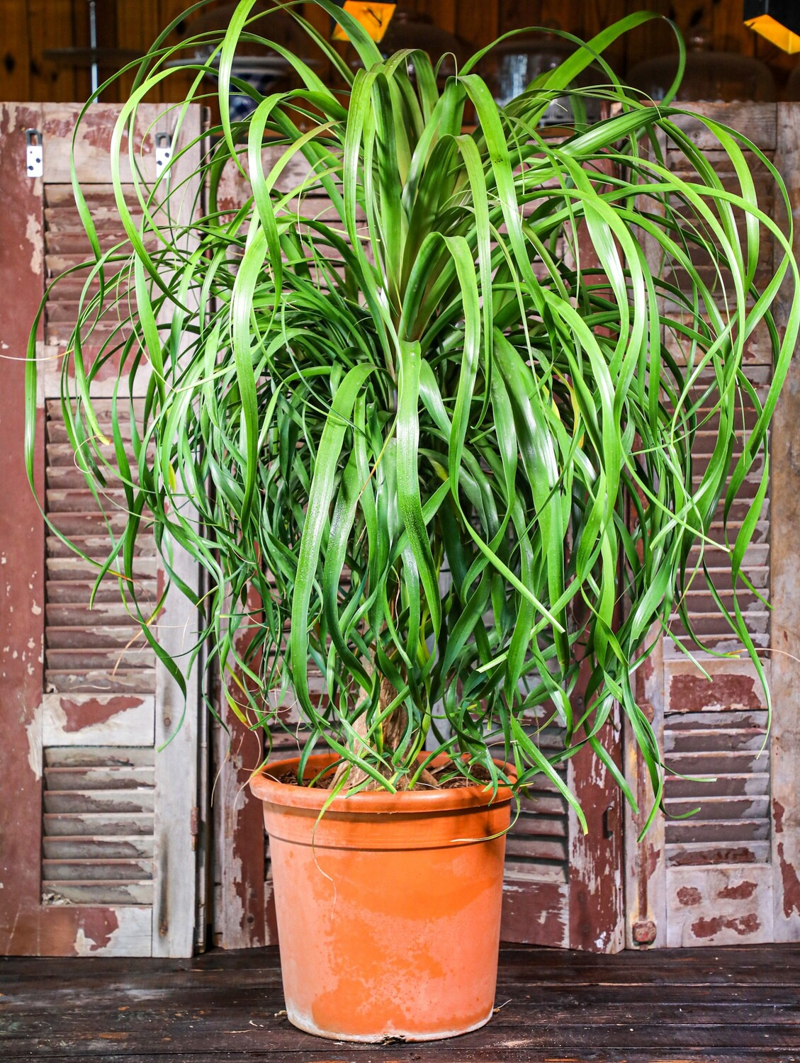Beaucarnea recurvata (Plant) - Nature by Marc Beyrouthy