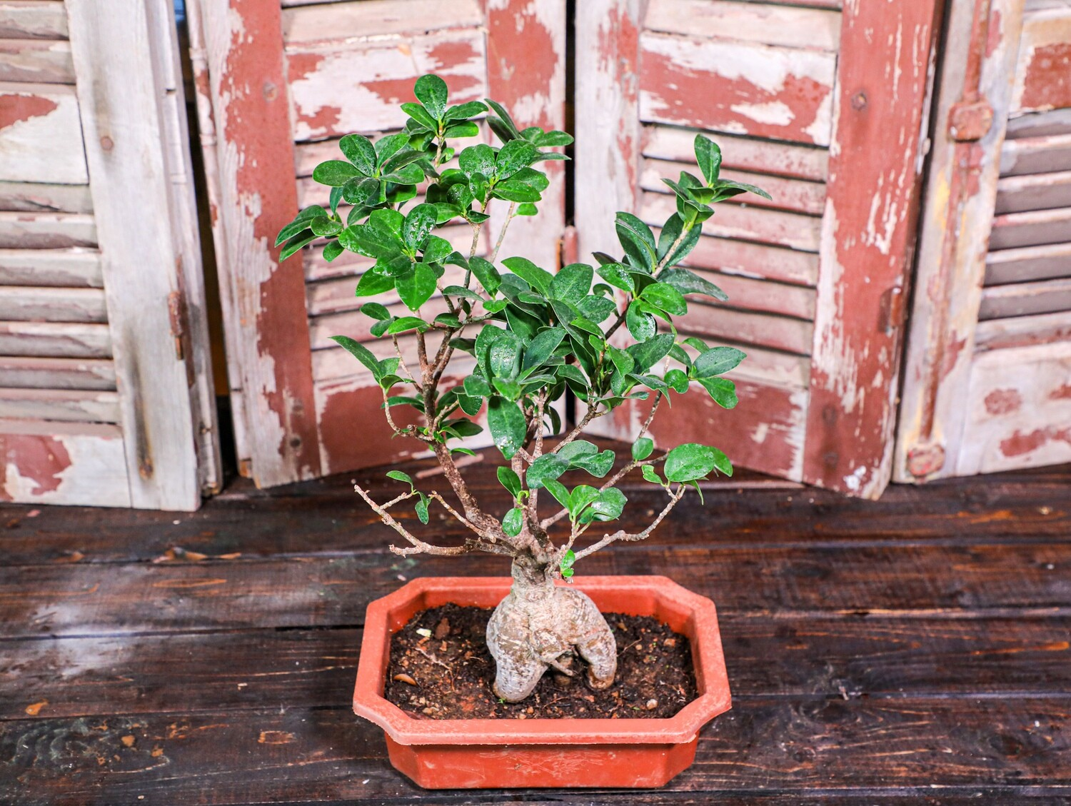Bonsai ficus (Plant) - Nature by Marc Beyrouthy