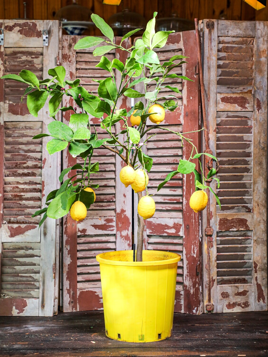 Citrus X limon 'lunario' (Plant) - Nature by Marc Beyrouthy