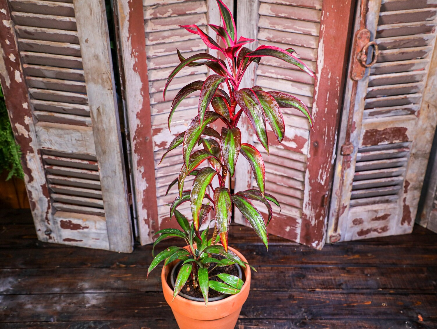 Cordyline fruticosa red (Plant) - Nature by Marc Beyrouthy
