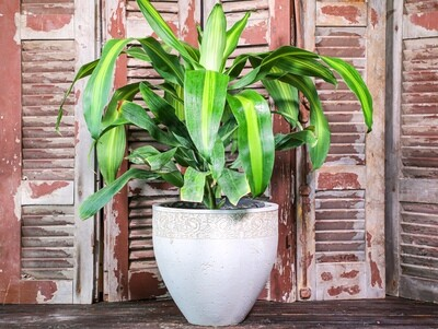 Draceana massangeana (Plant) - Nature by Marc Beyrouthy
