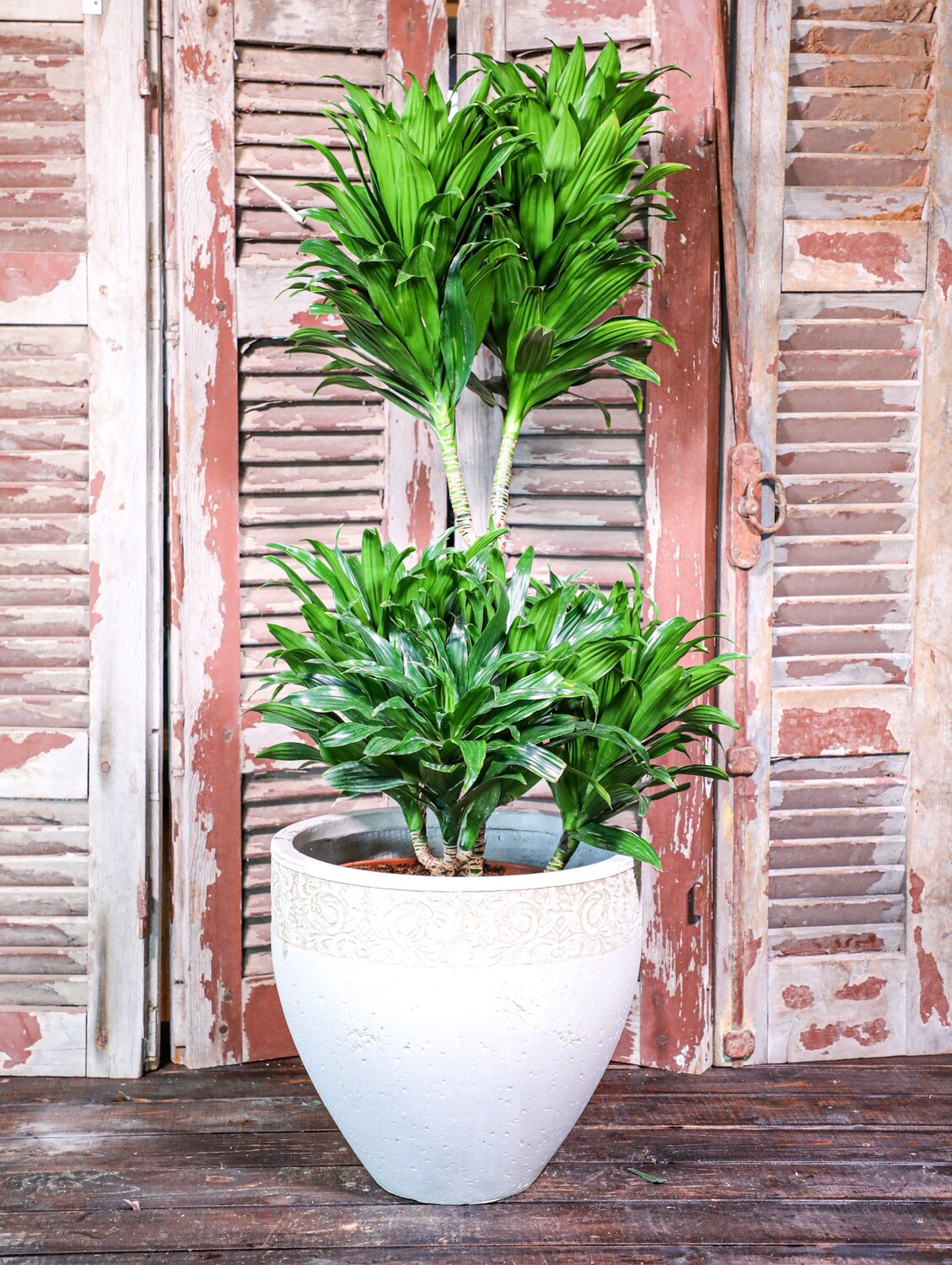 Dracaena compacta (Plant) - Nature by Marc Beyrouthy