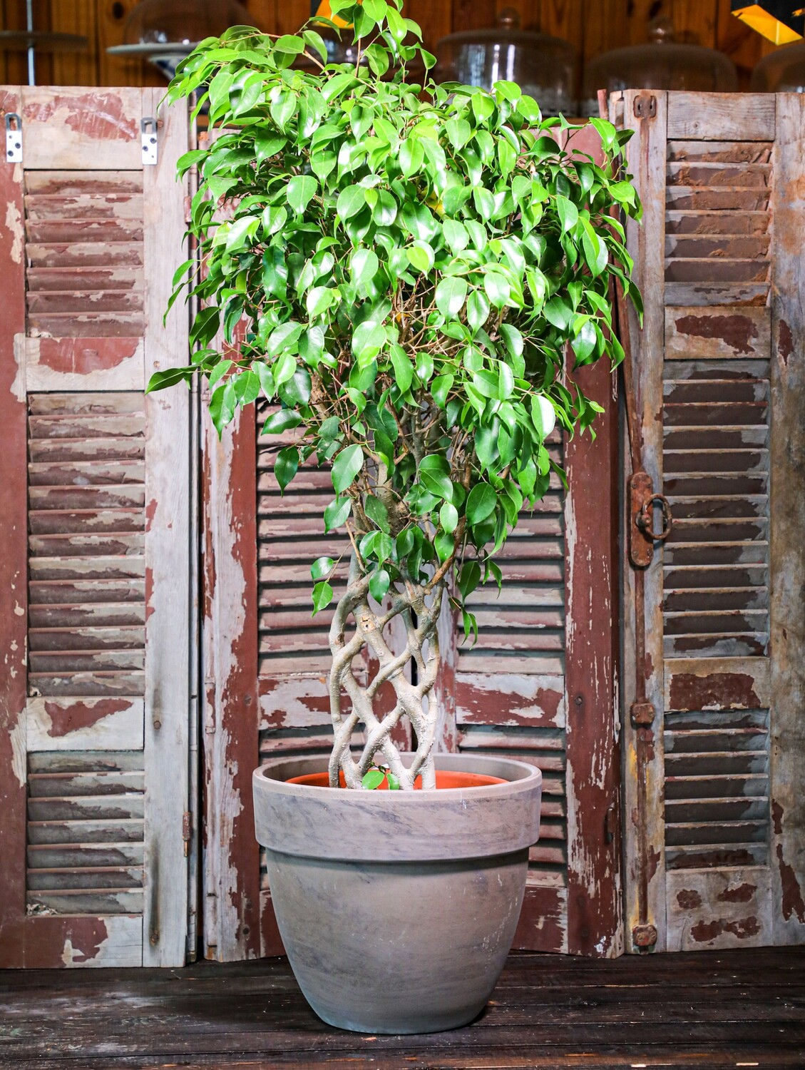 Ficus benjamina braided (Plant) - Nature by Marc Beyrouthy