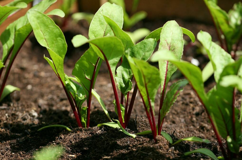 Beetroot (Seedling) الشمندر - Nature by Marc Beyrouthy