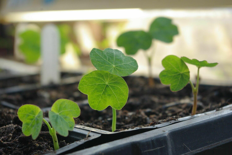 Nasturtium/Capucine الكبوسين (Seedling) - Nature by Marc Beyrouthy