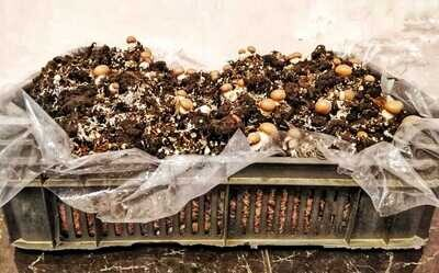 The Mushroom Box - Franje