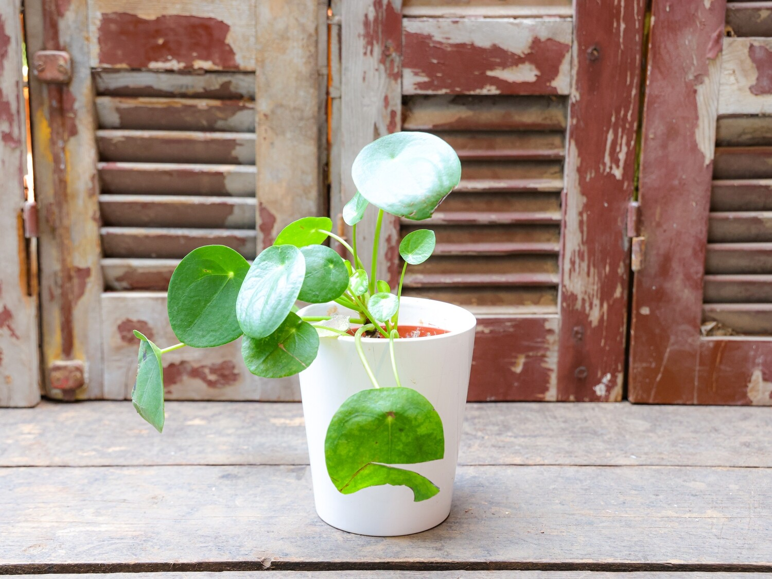 Pilea peperomoides (Plant) - Nature by Marc Beyrouthy