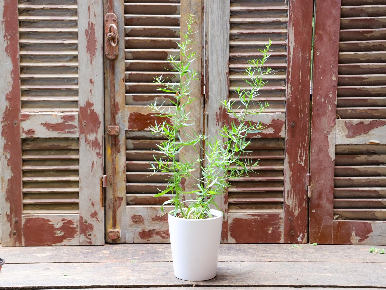 Tarragon  الطرخون (Plant) - Nature by Marc Beyrouthy