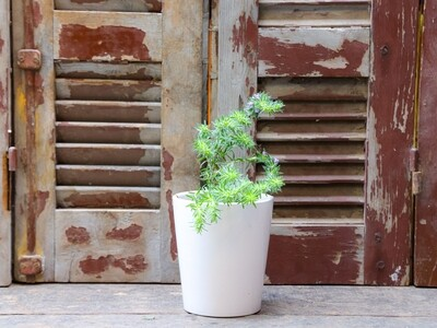 Wild Zaatar (Thymbra spicata) زعتر بري (Plant) - Nature by Marc Beyrouthy