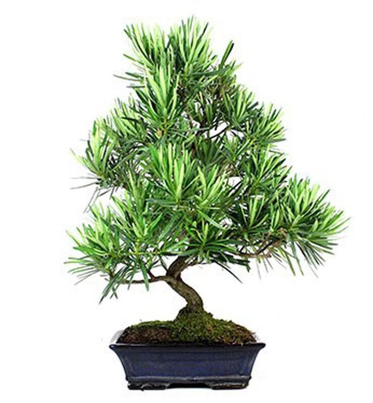 Bonsai Podocarpus (Plant) - Nature by Marc Beyrouthy