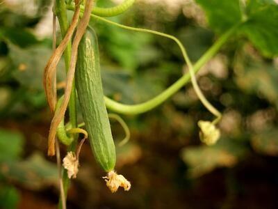 Cucumber (Kg) - Al Jawhara